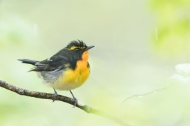 Male Narcissus Flycatcher at Karuizawa Bird Sanctuary, Japan. Photo credit: Keita Sin