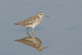 Wood Sandpiper at Lim Chu Kang Lane 3. Photo credit: Francis Yap