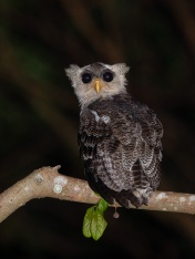 Juvenile Barred Eagle-Owl at Fuyong Estate