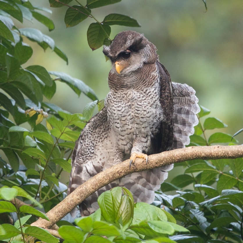 Barred Eagle-Owl at Fuyong Estate
