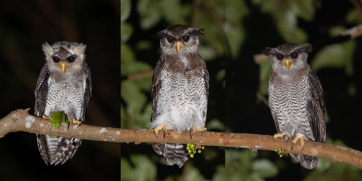 First breeding record of the Barred Eagle-Owl in Singapore Island
