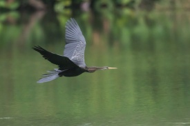 Oriental Darter at Singapore Quarry. Photo credit: Francis Yap