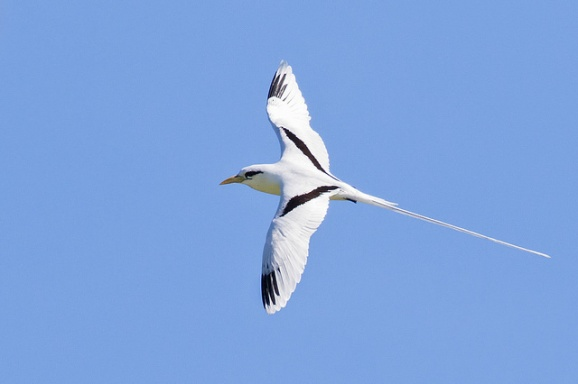 Adult White-tailed Tropicbird (nominate ssp lepturus) from Seychelles. Photo credit: Kevin Agar.