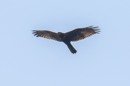 Juvenile Eastern Marsh Harrier at Henderson Waves. Photo credit: Adrian Silas Tay