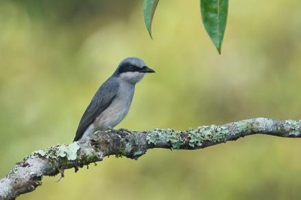 Male Large Woodshrike at Janda Baik, Malaysia. Photo credit: Francis Yap