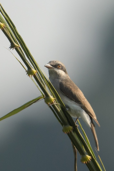 Female Large Woodshrike at Jelutong Tower. Photo credit: Francis Yap