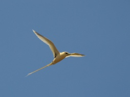 White-tailed Tropicbird (fulvus race) in flight on Christmas Island. Photo credit: Albert Low.