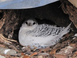 White-tailed Tropicbird (fulvus race) fledgling 6 weeks after the previous picture was taken. Photo credit: Albert Low