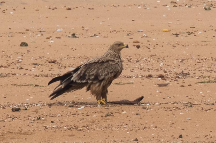 Juvenile Eastern Imperial Eagle at Pulau Sekudu. Photo credit: Francis Yap