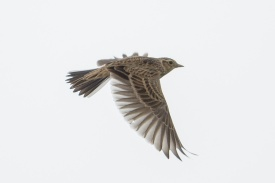 Flight shot of the Eurasian Skylark at Sungei Pandan. Photo credit: Francis Yap