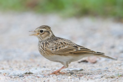 Eurasian Skylark at Sungei Pandan. Photo credit: Francis Yap