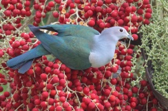 Green Imperial Pigeon at Changi Business Park. Photo credit: Francis Yap