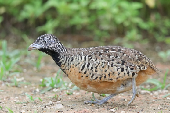 Female Barred Buttonquail at Punggol Barat. Photo credit: Francis Yap