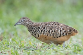 Male Barred Buttonquail at Punggol Barat. Photo credit: Francis Yap