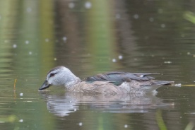 Cotton Pygmy Goose at Lorong Halus. Photo credit: Francis Yap