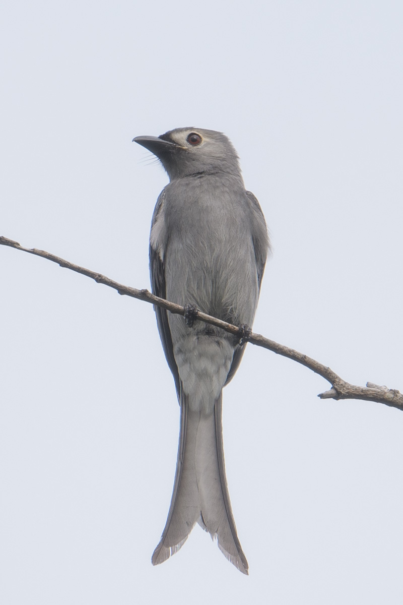 Ashy Drongo at Changi Business Park. Photo credit: Francis Yap