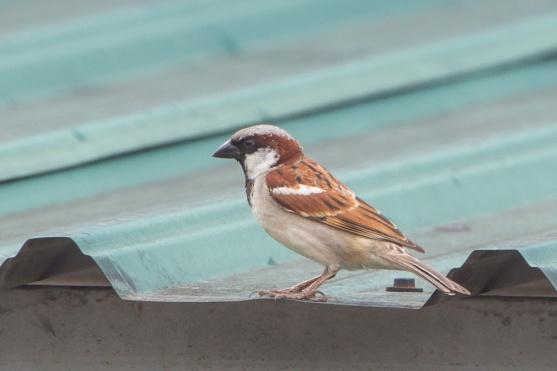 House Sparrow at Pasir Panjang Wholesale Market. Photo credit: Francis Yap