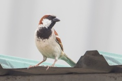 House Sparrow at Pasir Panjang Wholesale Market. Photo credit: Francis Yap