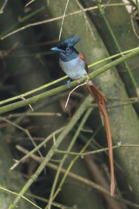 Indian Paradise Flycatcher at SBWR. Photo credit: Francis Yap