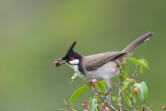 Red-whiskered Bulbul at Kent Ridge Park. Photo credit: Francis Yap