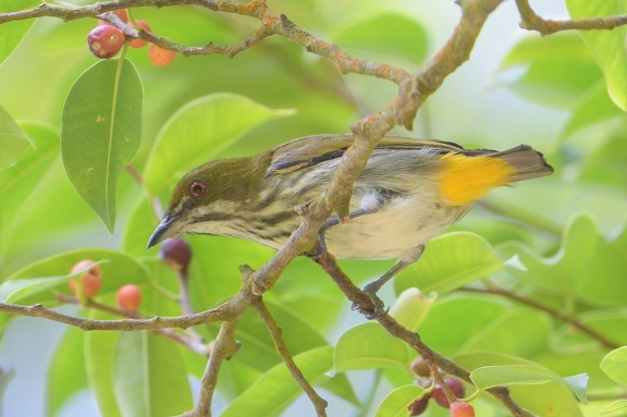 Yellow-vented Flowerpecker at Bukit Timah summit. Photo credit: Francis Yap