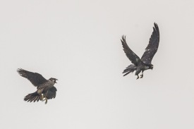 Peregrine Falcons at Kent Ridge Park. Photo credit: Francis Yap