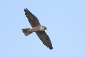 Peregrine Falcon at SBWR. Photo credit: Francis Yap