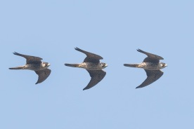 Montage of a flying Peregrine Falcon over Bukit Timah. Photo credit: Francis Yap