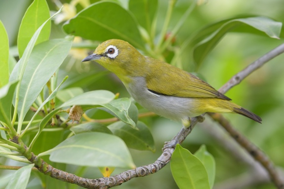 Swinhoe's White-eye at Kent Ridge Park. Photo credit: Francis Yap