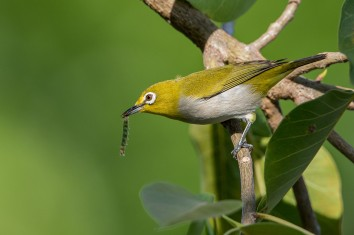 Swinhoe's White-eye. Photo credit: Adrian Silas Tay