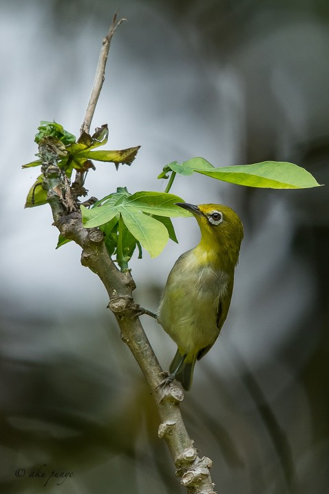 Swinhoe's White-eye . Photo credit: Mohamad Zahidi Hamid