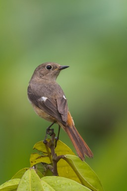 Daurian Redstart at Satay by the Bay. Photo credit: Francis Yap
