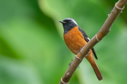 Daurian Redstart at Singapore Botanic Gardens. Photo credit: Francis Yap