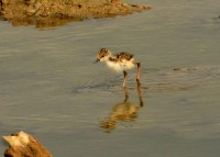 Pied Stilt chick at Pulau Tekong. Photo credit: Frankie Cheong