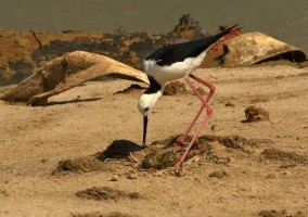 Pied Stilt adult with eggs at Pulau Tekong. Photo credit: Frankie Cheong