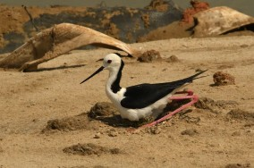 Pied Stilt adult incubating eggs at Pulau Tekong. Photo credit: Frankie Cheong