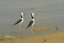 Pied Stilts adults at Pulau Tekong. Photo credit: Frankie Cheong