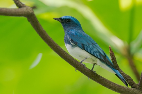 Zappey's Flycatcher at Bidadari. Photo credit: Francis Yap