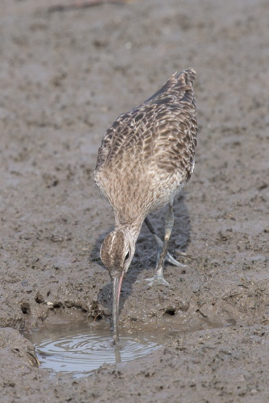 Eurasian Whimbrel at Sungei Buloh Wetland Reserve. Photo credit: Francis Yap