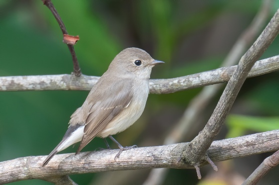 Taiga Flycatcher at Singapore Botanic Gardens. Photo credit: Francis Yap