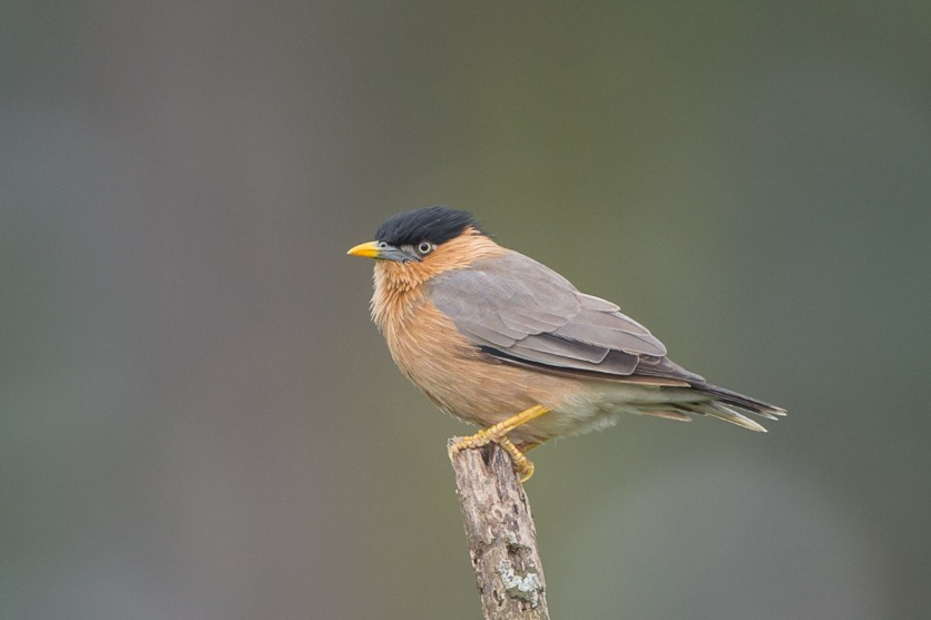 Brahminy Starling at Punggol Barat. Photo credit: Francis Yap