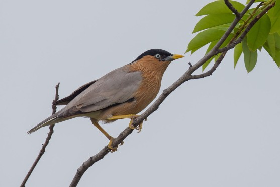 Brahminy Starling at Jurong Lake Gardens. Photo credit: Adrian Silas Tay