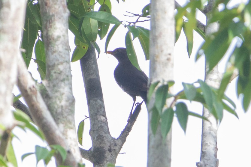 Chinese Blackbird at Jurong Lake Gardens. Photo credit: Keita Sin