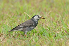 White-cheeked Starling at Picadilly, Seletar. Photo credit: Francis Yap