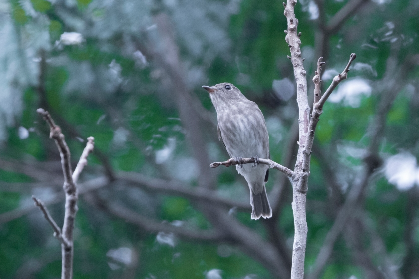 Brown-Streaked Flycatcher 2_15-08-17_Singapore_GREY