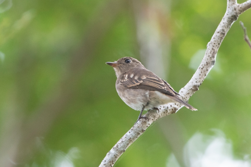 Brown-Streaked Flycatcher_15-08-17_Singapore