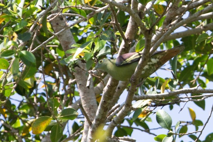 Grey-cheeked Green Pigeon_02-08-19_Indonesia_Bali