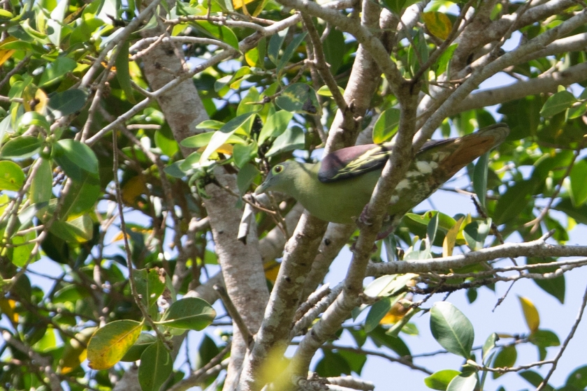 Grey-cheeked Green Pigeon_02-08-19_Indonesia_Bali