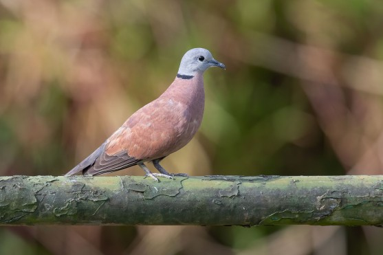 Red Collared Dove at Neo Tiew. Photo credit: Adrian Silas Tay
