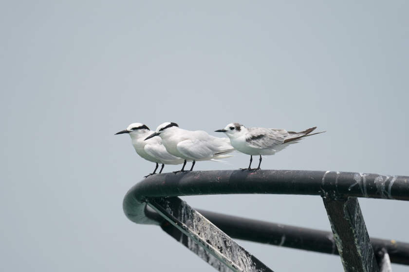 White-winged Tern and Black-naped Terns